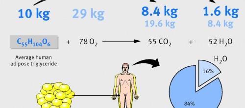 Dove finisce il grasso perso ?